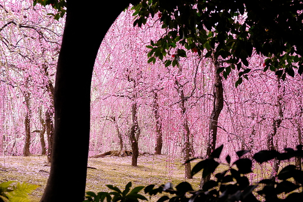 plum spring #16