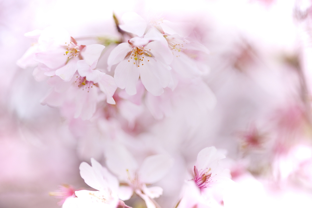 SAKURA close up #1