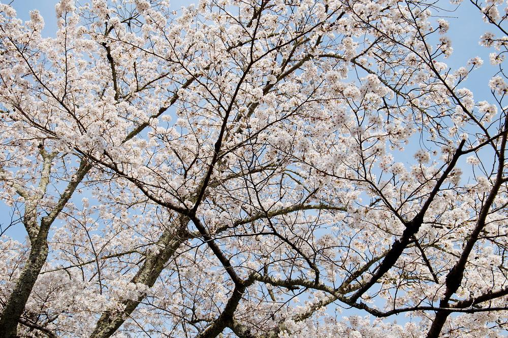SAKURA fills the blue sky #1