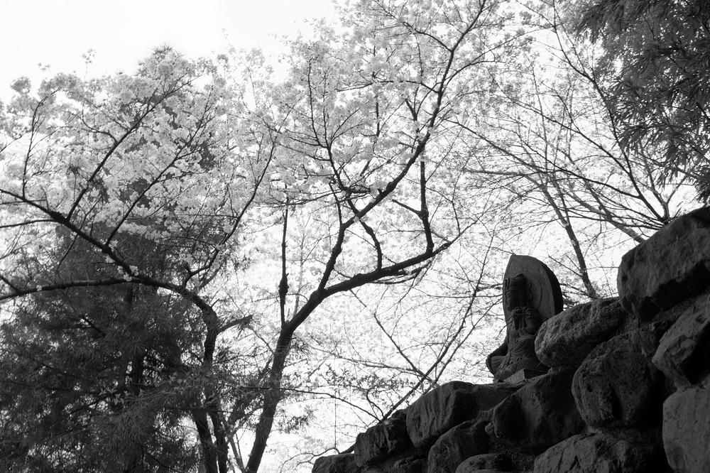 SAKURA in monochrome #2