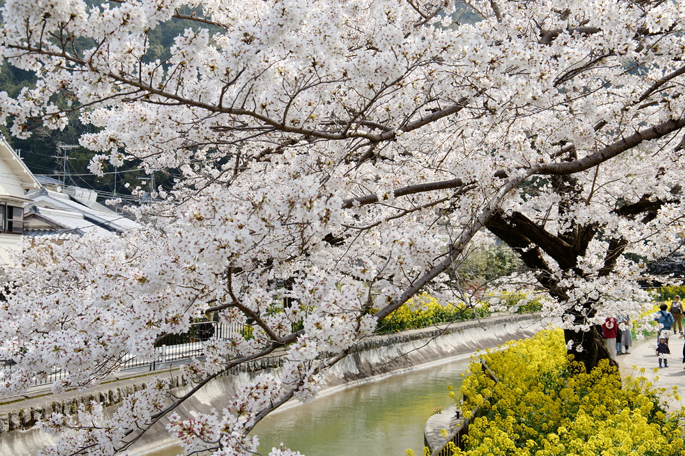 SAKURA by the river #3