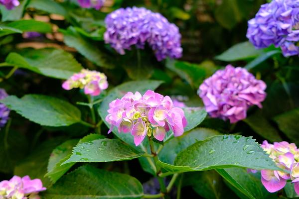 Hydrangea in my garden #1