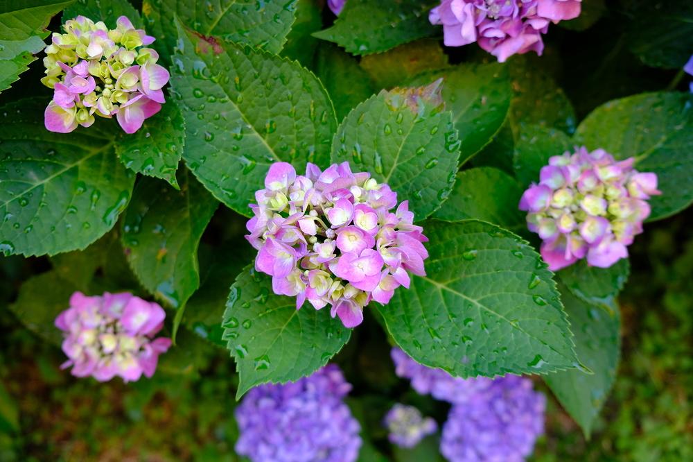 Hydrangea in my garden #2