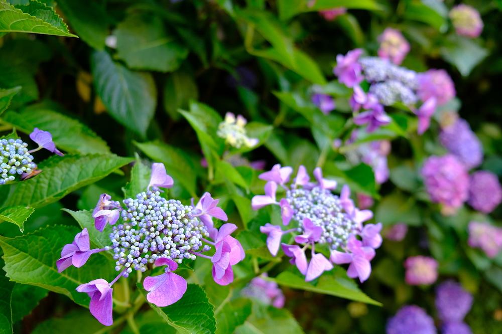 Hydrangea in my garden #3