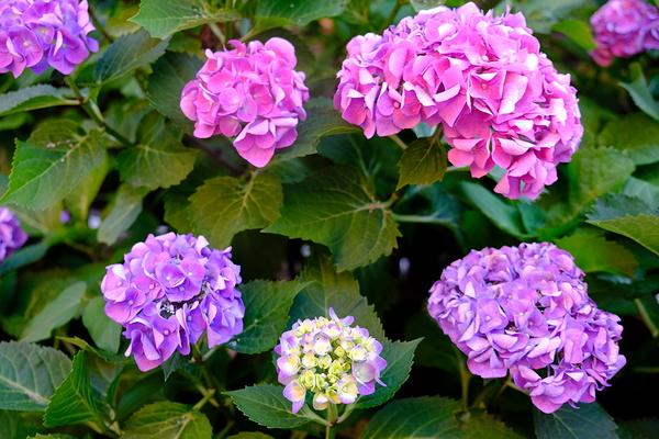 Hydrangea in my garden #4