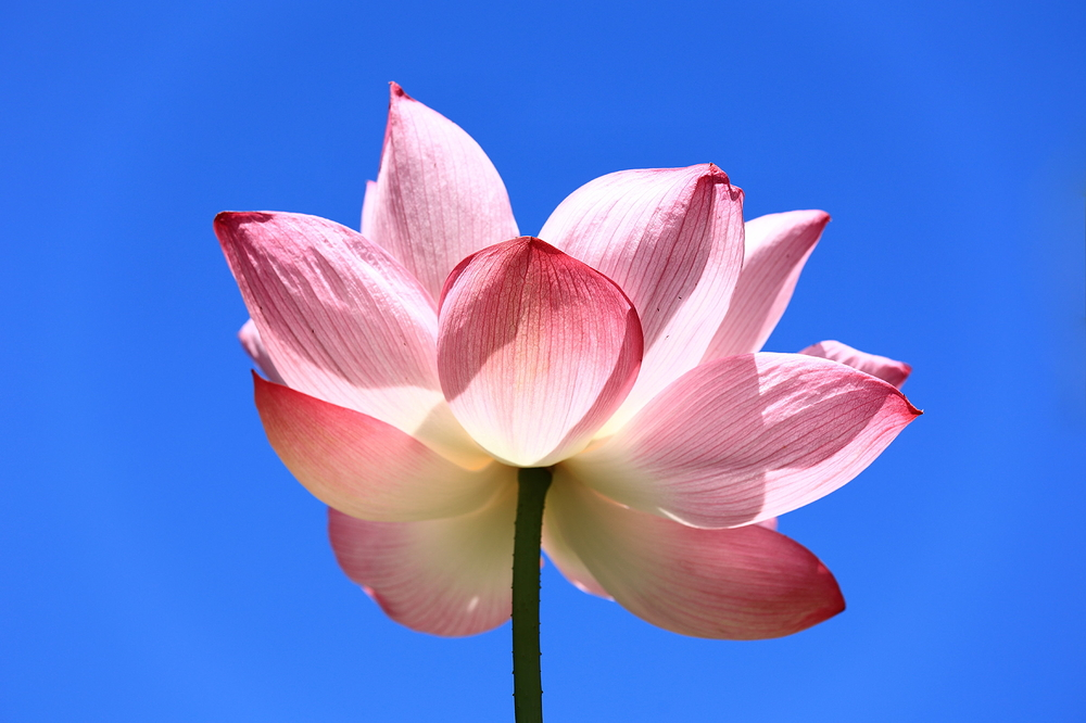 hot summer lotus #1