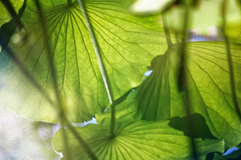 hot summer lotus #8
