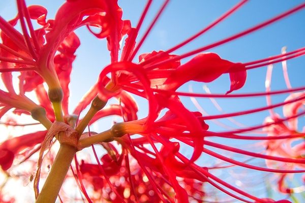 spider lily #5