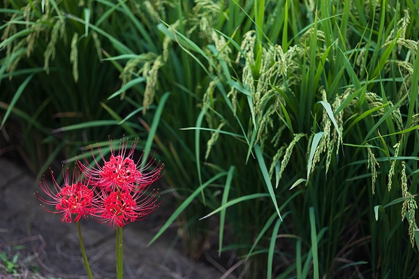 spider lily #6