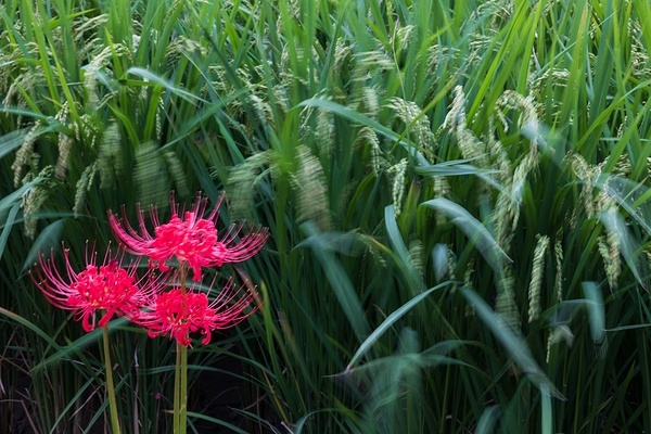 spider lily #7
