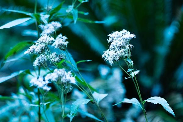 fragrant eupatorium #1