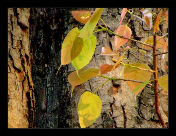 Autumn Leaves @ Ulsoor Lake, Bangalore