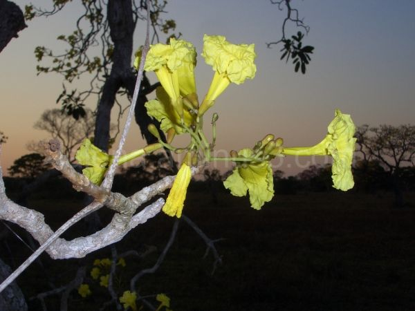 Piuva amarilla Pantanal, Brasil