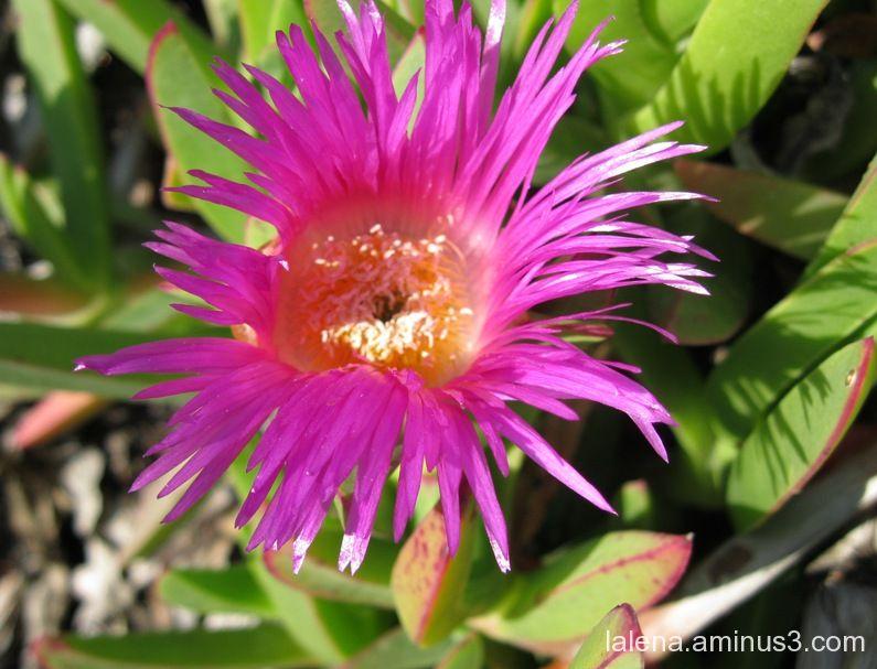plomall rosat