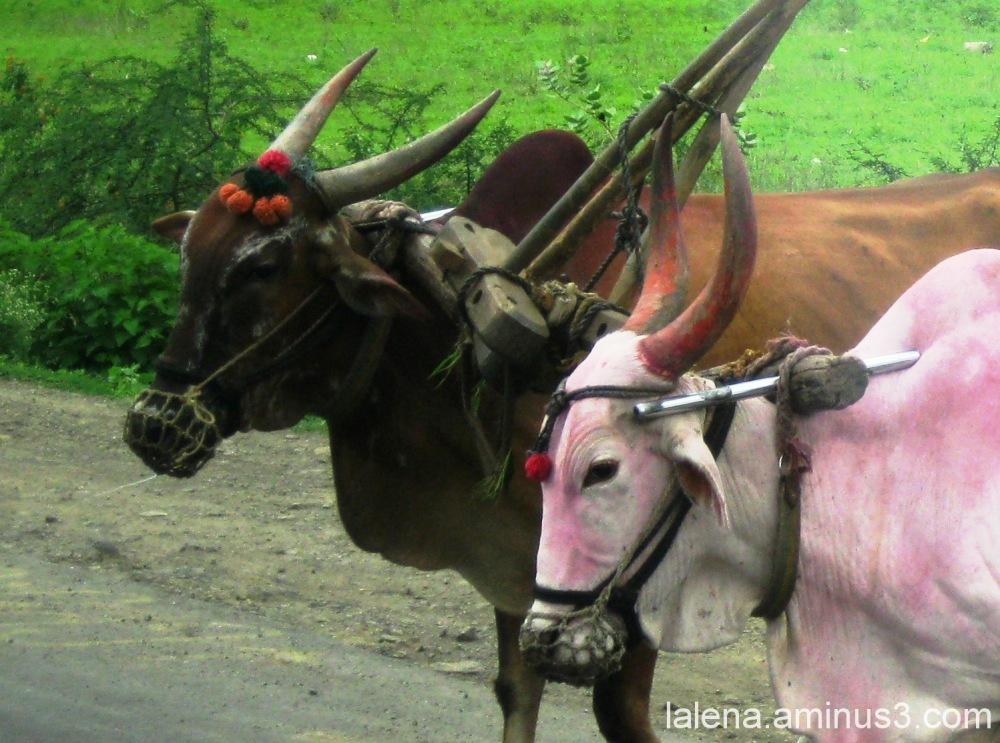 vaques indús