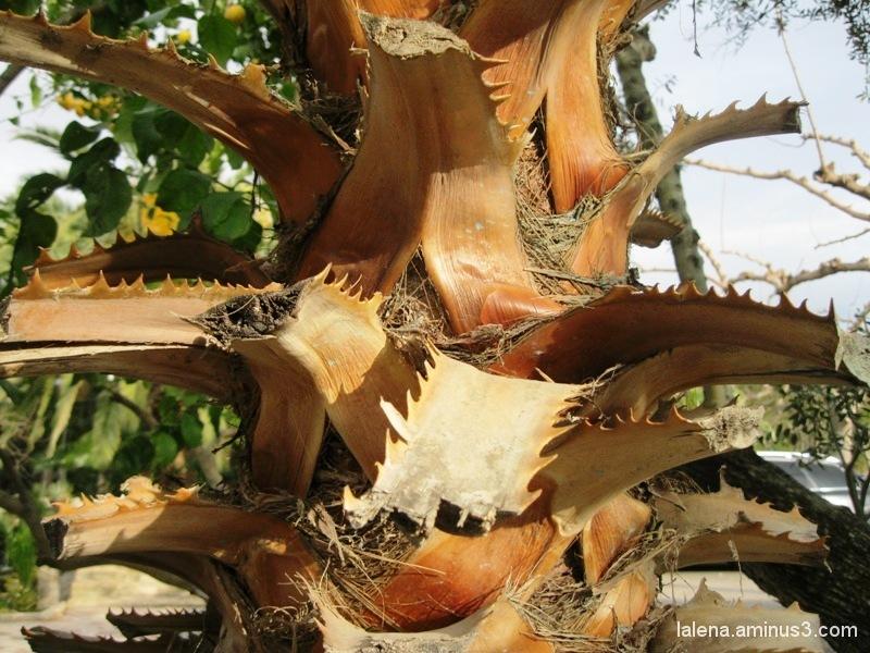 tronc de palmera