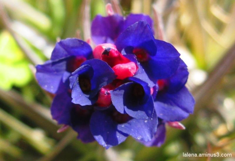 Flor culer