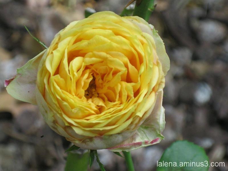 Una rosa en groc pàl·lid.