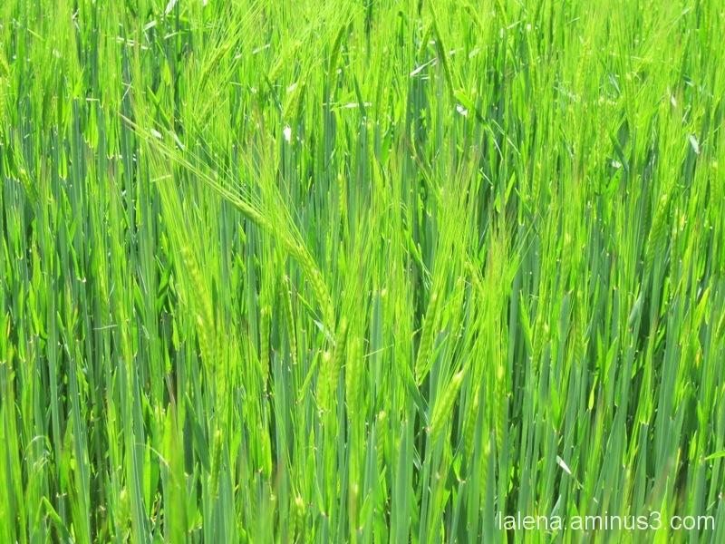 Espigues verdes