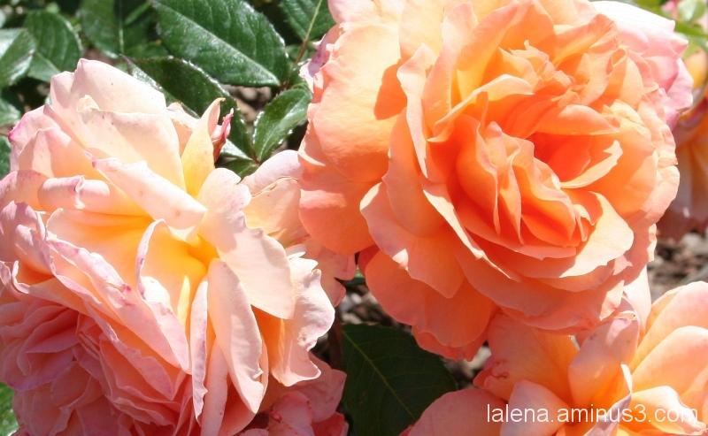 Roses del Parc Cervantes de BCN 1