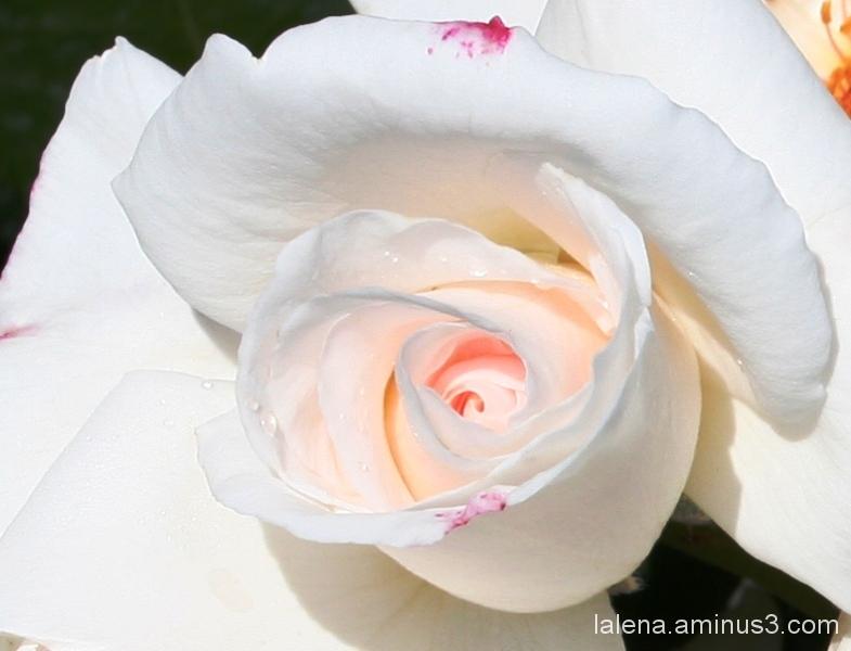 La més preciosa. Roses 6