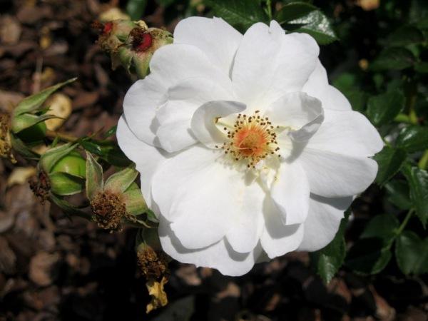 Blanca flor primavderal