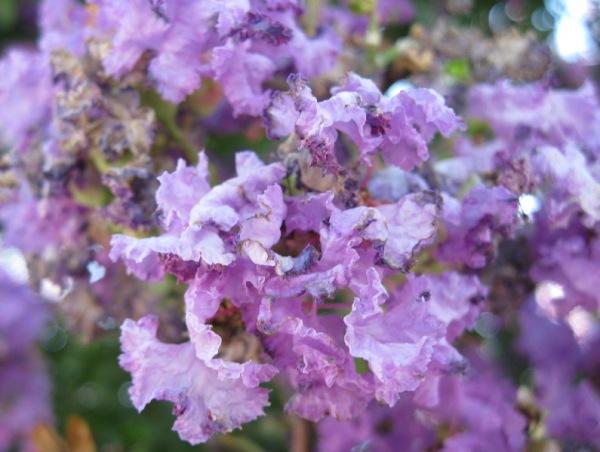 En lila flamenc