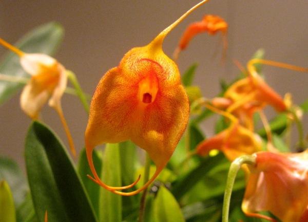 Orquídees  en taronja