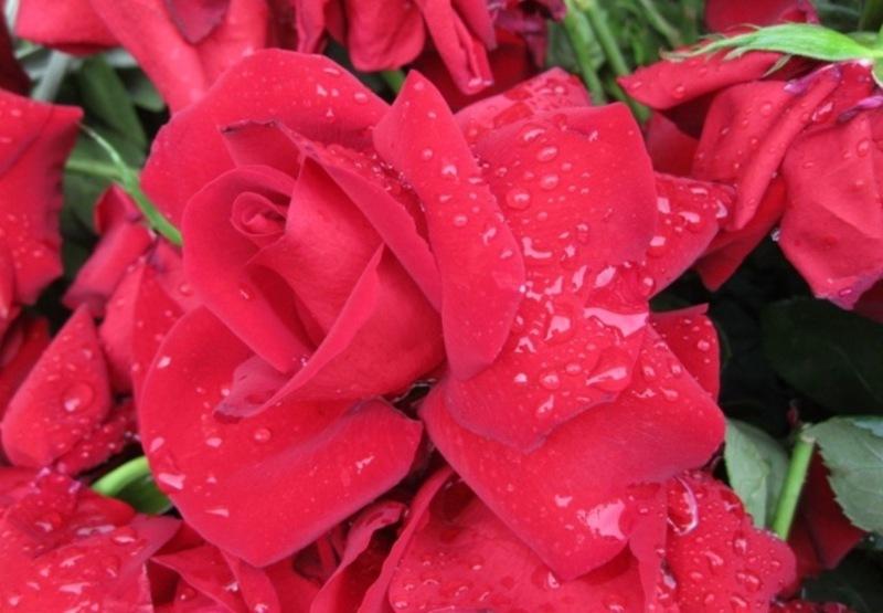 Roses vermelles per sant Jordi