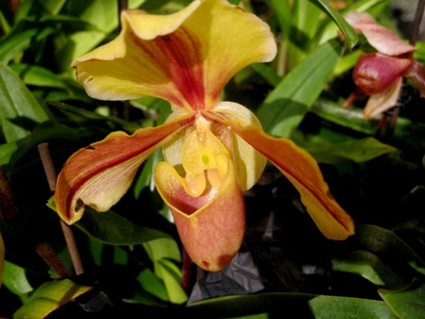 Orquídea i bigotis