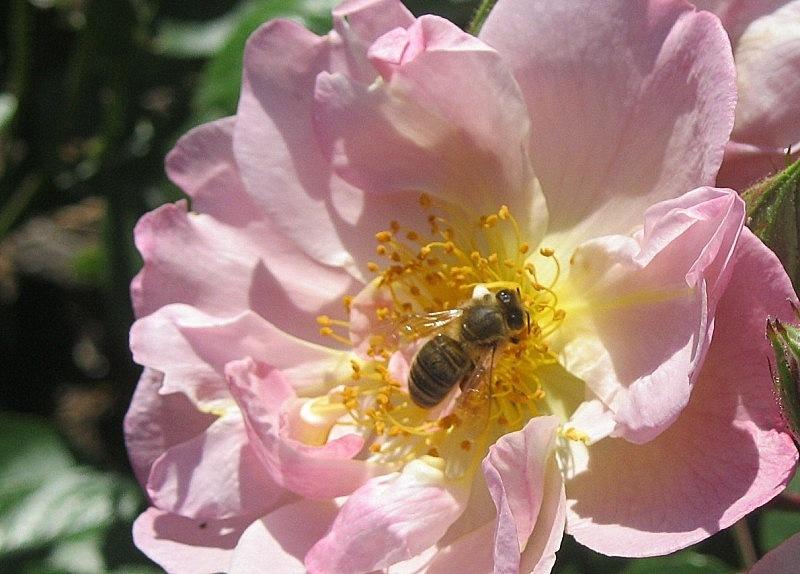Exposada a l'abella