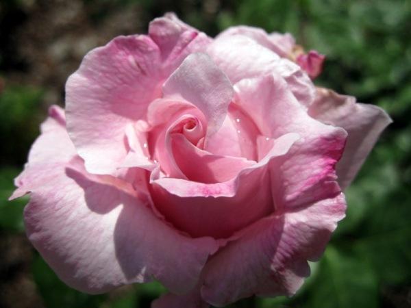 Caprici rosat