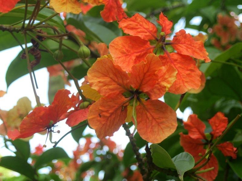 Ibiscus en taronja