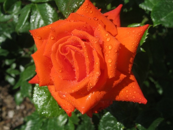 Rosa, rosae rosa...