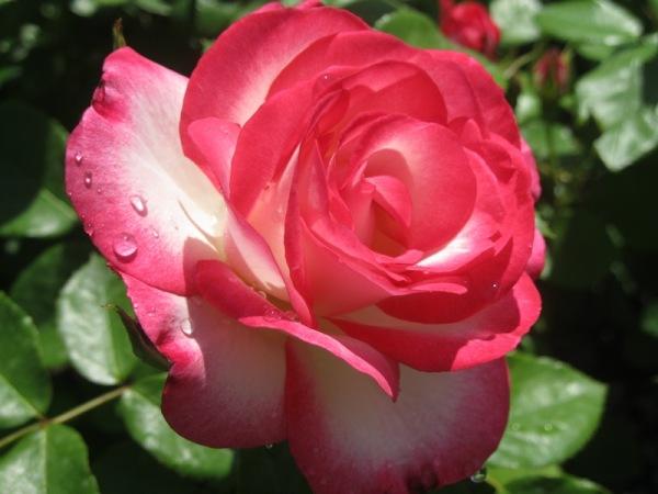 Rosa ufanosa