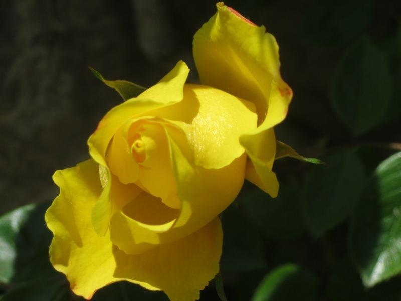 Domini del groc 1