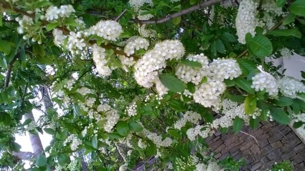 Branca florida