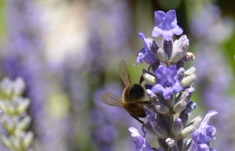 El néctar en malva