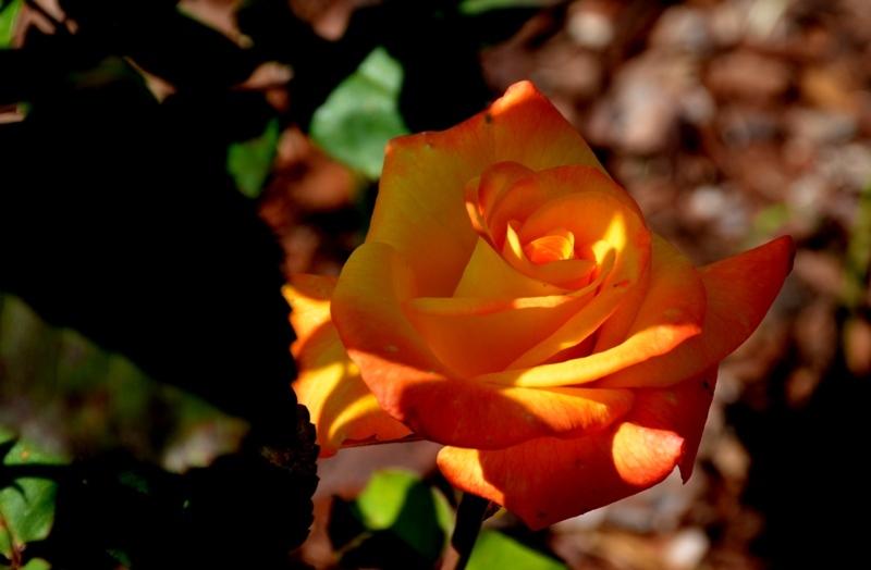 Una rosa amb els colors de la senyera