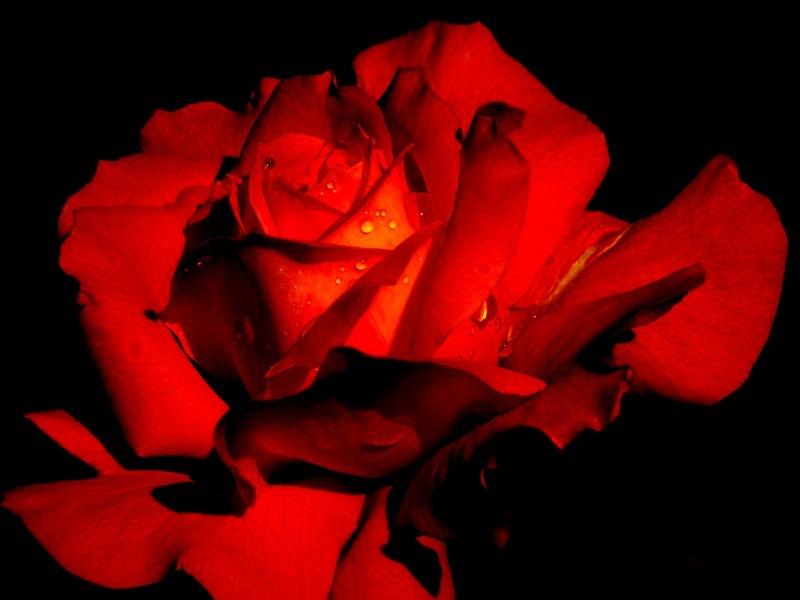 Roses per Sant Jordi, roses llibres i petons