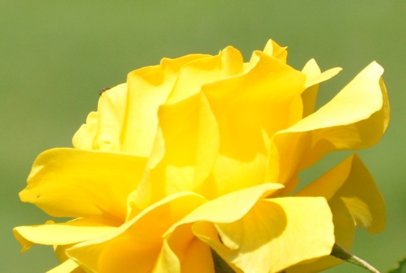 Roses del parc 1