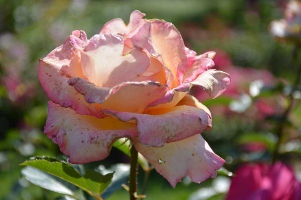 Roses del parc 3