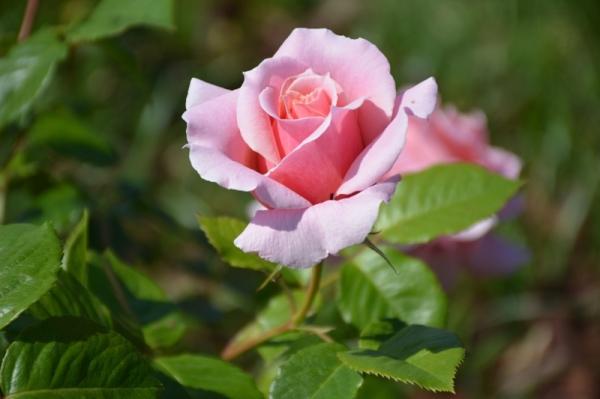 Roses del parc 4