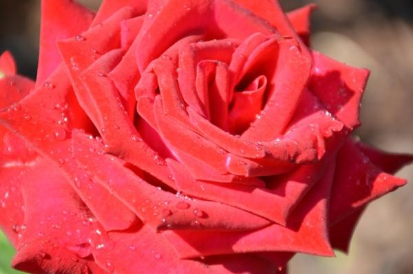 Roses del  parc 5