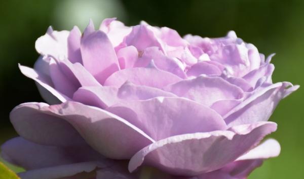 Roses del parc 6