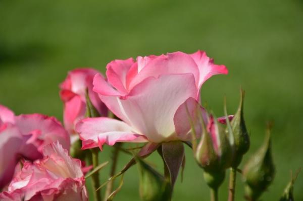 Roses del par7c