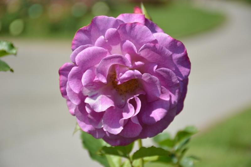 Roses al parc 7