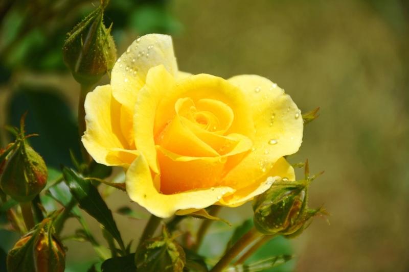Roses del parc 7