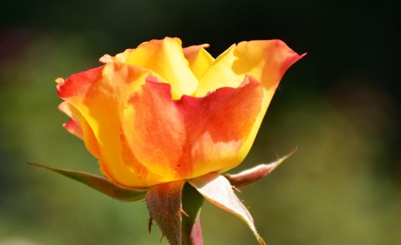 Roses del parc 8