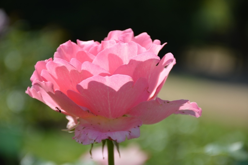 Roses del parc 9